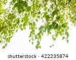 fresh green birch tree leaves... | Shutterstock . vector #422235874