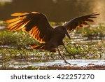 hamerkop flying to land at... | Shutterstock . vector #422257270
