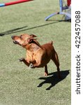 Small photo of Dog of breed a dwarfish pinscher at training on Dog agility