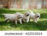 Stock photo little puppys golden retriever running around playing in the summer park 422513314