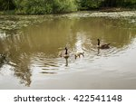Family Of Canadian Geese Takin...
