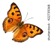 Small photo of Beautiful butterfly Peacock Pansy isolate on white background. (Junonia almanac)