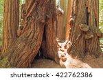 Gigantic Redwood Tree Trunks In ...