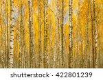 Birch Trees In Autumn Woods...