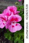 Bright Pink Bicolor Geraniums...