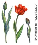 Watercolor Tulips Set. Bloomin...