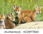 Red Fox Family  Four Cute Cubs...