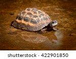 Little Small Spider Tortoise...