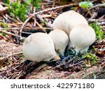 Small photo of A close-up view showing group of four Lycoperdon pyriforms, a saprobic fungus, commonly known as the pear-shaped puffball or stump puffball, growing on decaying wood in forest.