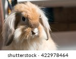 Brown Long Haired Rabbit With...
