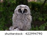 Small photo of long-eared owlet fleer