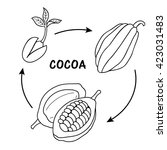 The Life Cycle Of Cocoa.