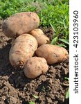 collecting potatoes in the... | Shutterstock . vector #423103960