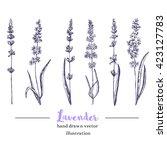 vector lavender hand drawn... | Shutterstock .eps vector #423127783