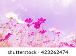 soft blurred of cosmos flower... | Shutterstock . vector #423262474