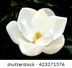 Small photo of Close Up Image Of A White Southern Magnolia Blossom (Magnolia grandiflora), the Louisiana State Flower