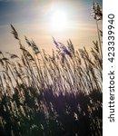 golden sunset and reed grass in ... | Shutterstock . vector #423339940