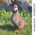 Small photo of Red Legged Partridge (Alectoris rufa) on The Island of Tresco in the Isles of Scilly, England, UK
