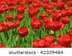 bunch of red tulips flowers in... | Shutterstock . vector #42339484