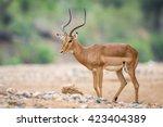 Impala Ram Walking In Dry...