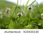Clover Flowers In The Grass