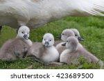 Five Mute Swan Cygnets  Cygnus...