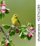Small photo of American Goldfinch Perched on Blossoming Apple Tree against Green Background