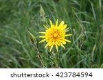 Yellow Hawkweed  Hieracium...