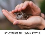 Young Bird Nestling House Sparrow (Passer Domesticus) Chick Baby Yellow-beaked In male Hands