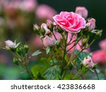 Stock photo colorful japanese rose in tokyo garden in japan 423836668