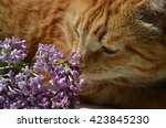 Red Cat And A Lilac Branch  A...
