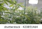 marijuana plants under the grow ... | Shutterstock . vector #423851464