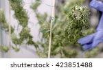 grower examines buds of mature... | Shutterstock . vector #423851488