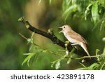 thrush nightingale   sprosser... | Shutterstock . vector #423891178
