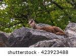 portrait of alpine ibex ... | Shutterstock . vector #423923488