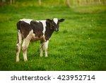Calf In A Pasture
