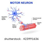 structure of motor neuron. the... | Shutterstock .eps vector #423991636