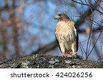 red tailed hawk with dead mouse   Shutterstock . vector #424026256