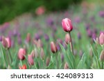 tulips. tulip fields | Shutterstock . vector #424089313