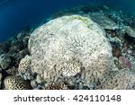 Small photo of A coral colony has begun to bleach in Raja Ampat, Indonesia. Bleaching occurs when corals are stressed and expel their symbiotic zooxanthellae due to high sea temperatures.