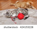 Stock photo kuril bobtail cat playing with a ball of yarn red and gray kitten thoroughbred cat cute and 424153228
