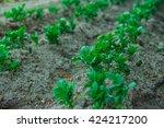 Seedlings Potato