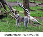 Lemur Catta Low Five