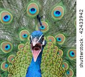 Peacock Opens Mouth