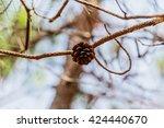 Seeds Of Khasiya Pine On Fores...