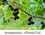 Blackcurrants On The Bush...