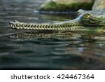 Small photo of Gharial (Gavialis gangeticus), also knows as the gavial. Wildlife animal.
