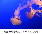 Medusa Jellyfish Floating And...