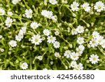 Small photo of Cerastium alpinum (alpine mouse-ear, alpine chickweed) is a species of mat forming perennial plant.