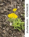 Small photo of Achillea tomentosa L. perennial plant of the family Asteraceae.
